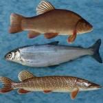 5 Voordelen van vis